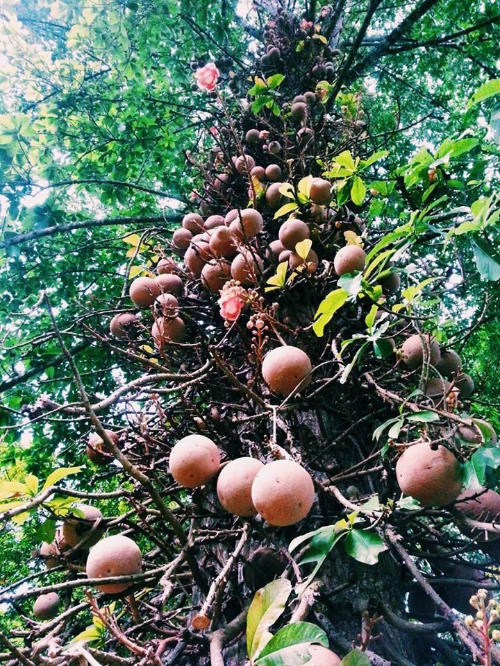 Blossom zine viaggio in Sri Lanka 6  Couroupita guianensis