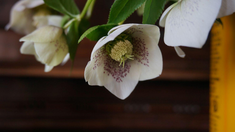 Blossom zine Helleborus orientalis (1)