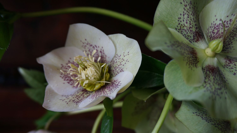 Blossom zine Helleborus orientalis (5)