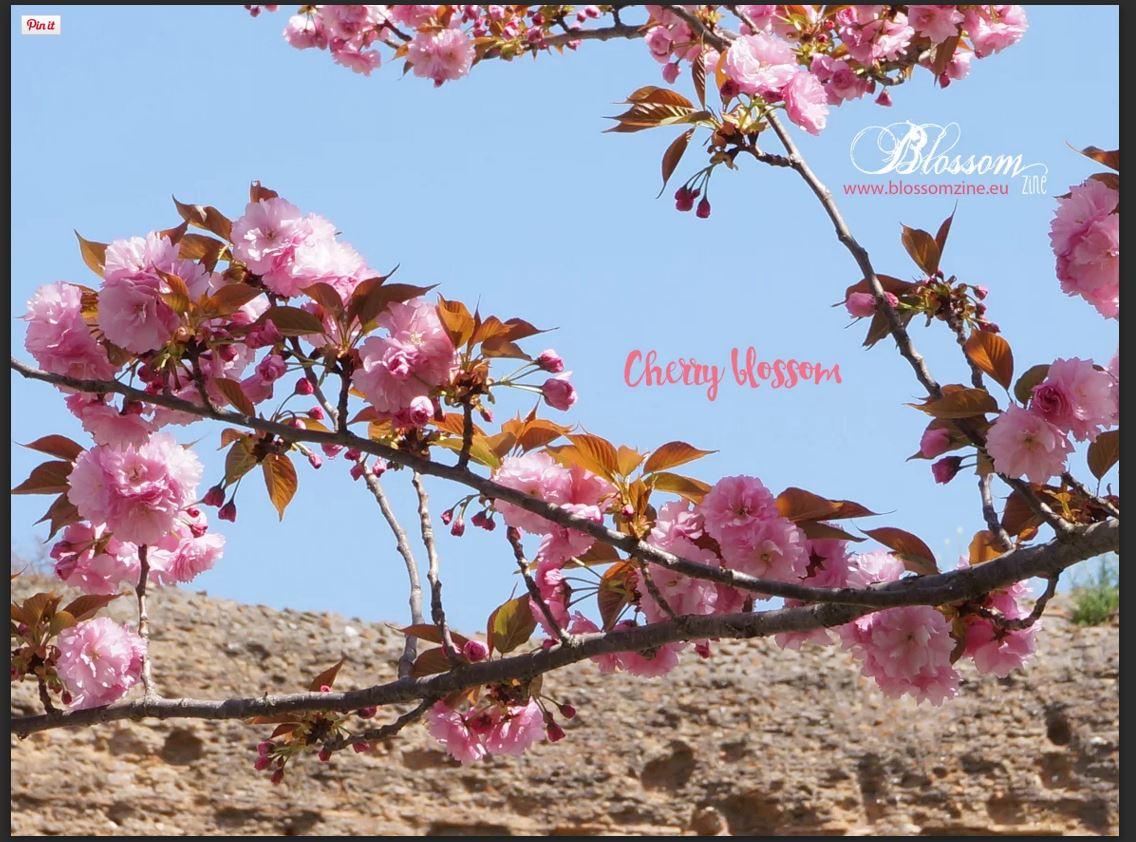 sfondo cherry blossom