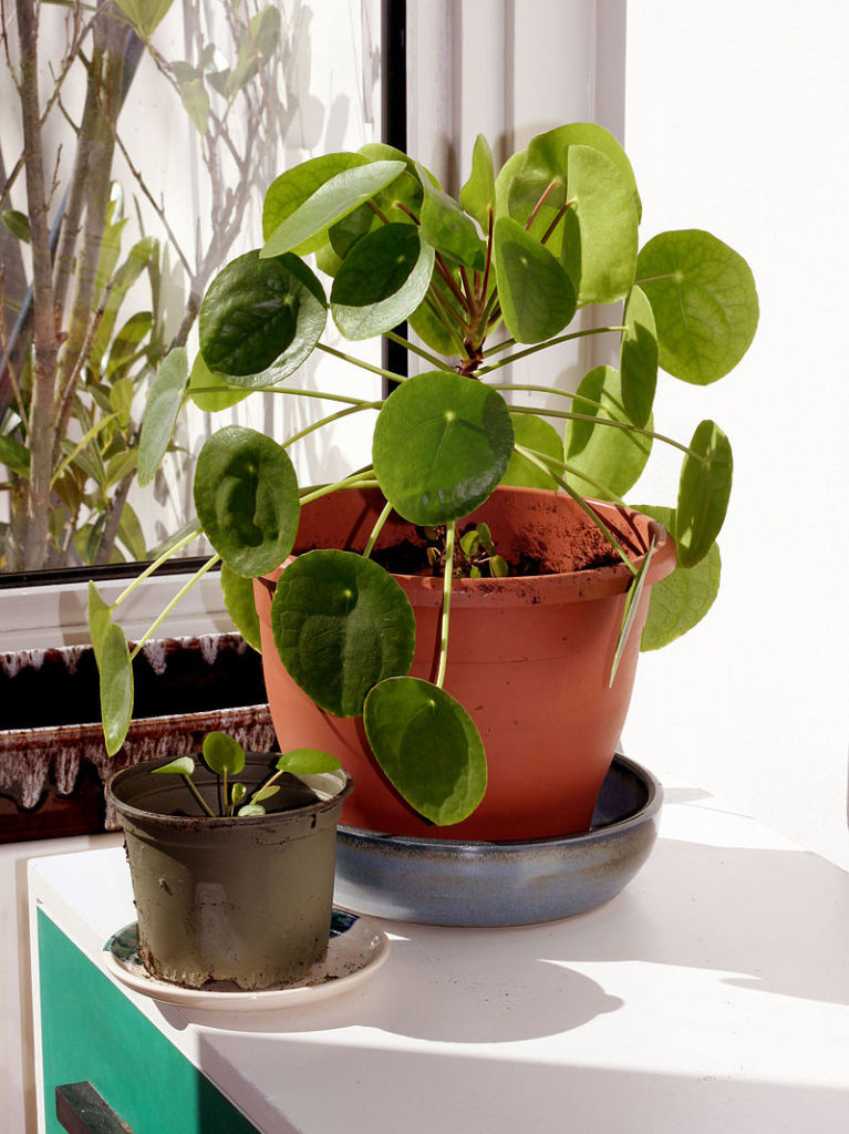 Pilea_peperomioides_Chinese_money_plant