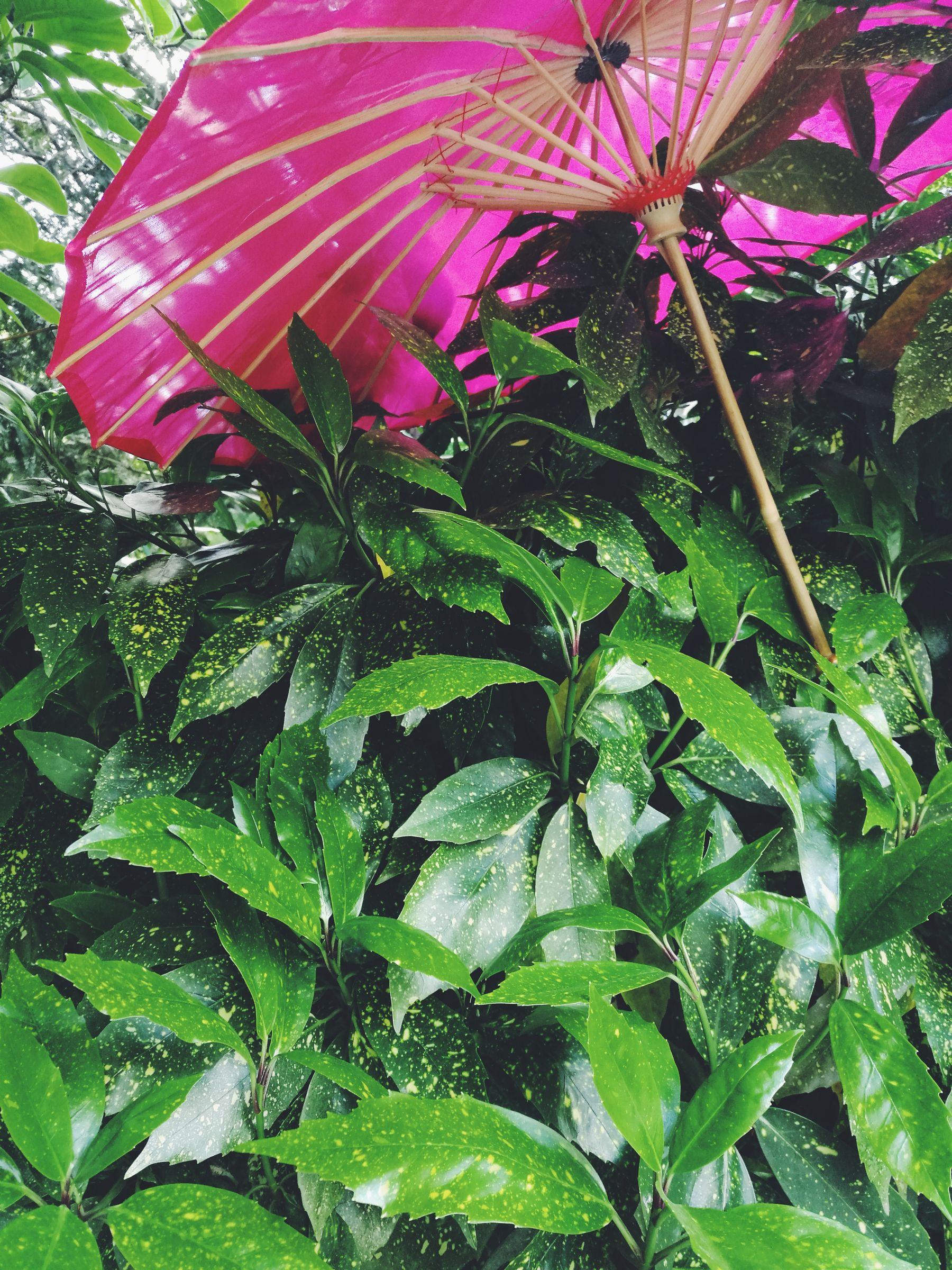 Vintage Garden Aucuba japonica