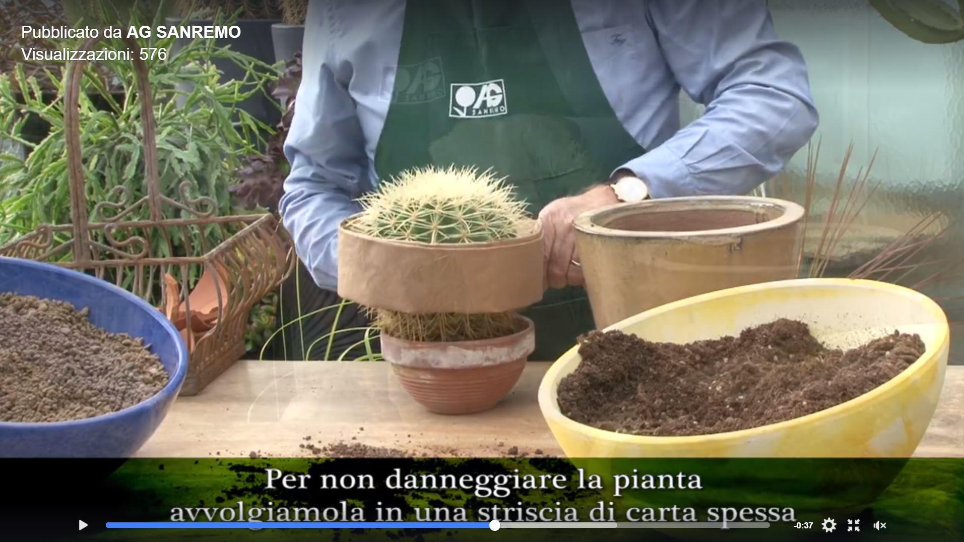 come rinvasare un cactus VIDEO AG SANREMO