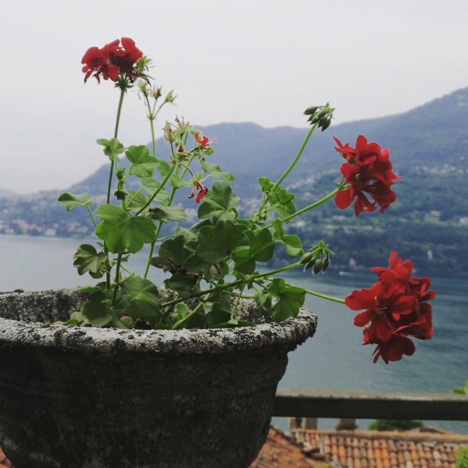 MyGeranium #pelargoniumforeurope Blossom zine pelargonium
