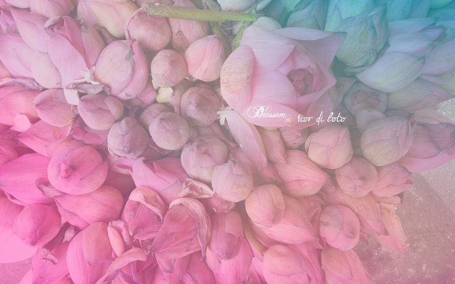 blossom zine fiore di loto sfondo