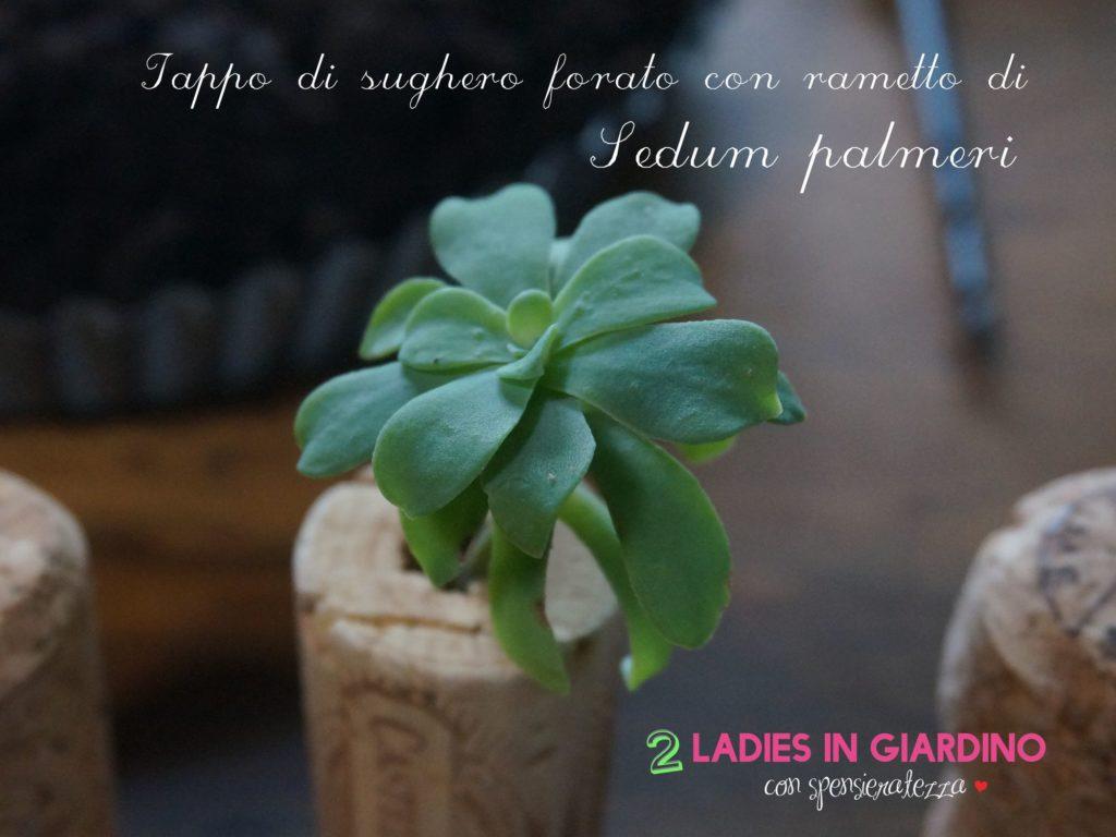 sedum palmeri 2 ladies in giardino2