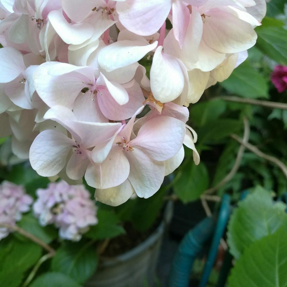 blossom zine ortensie 2