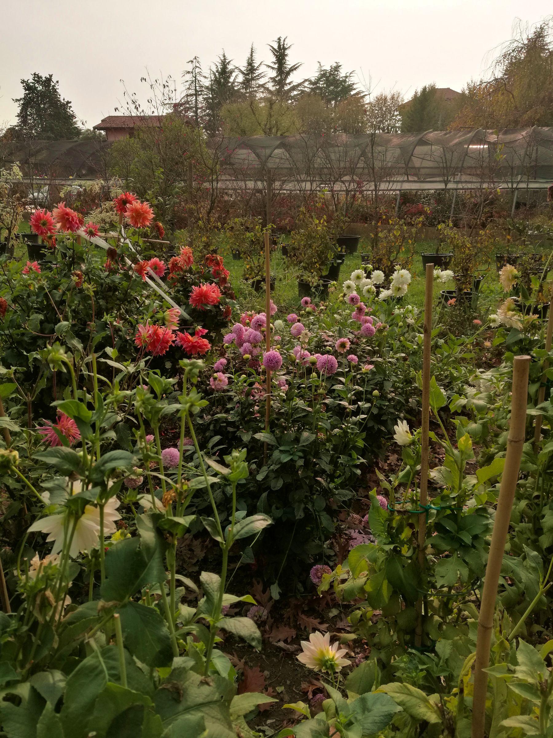 blossom zine OFF olga flower farm dalie