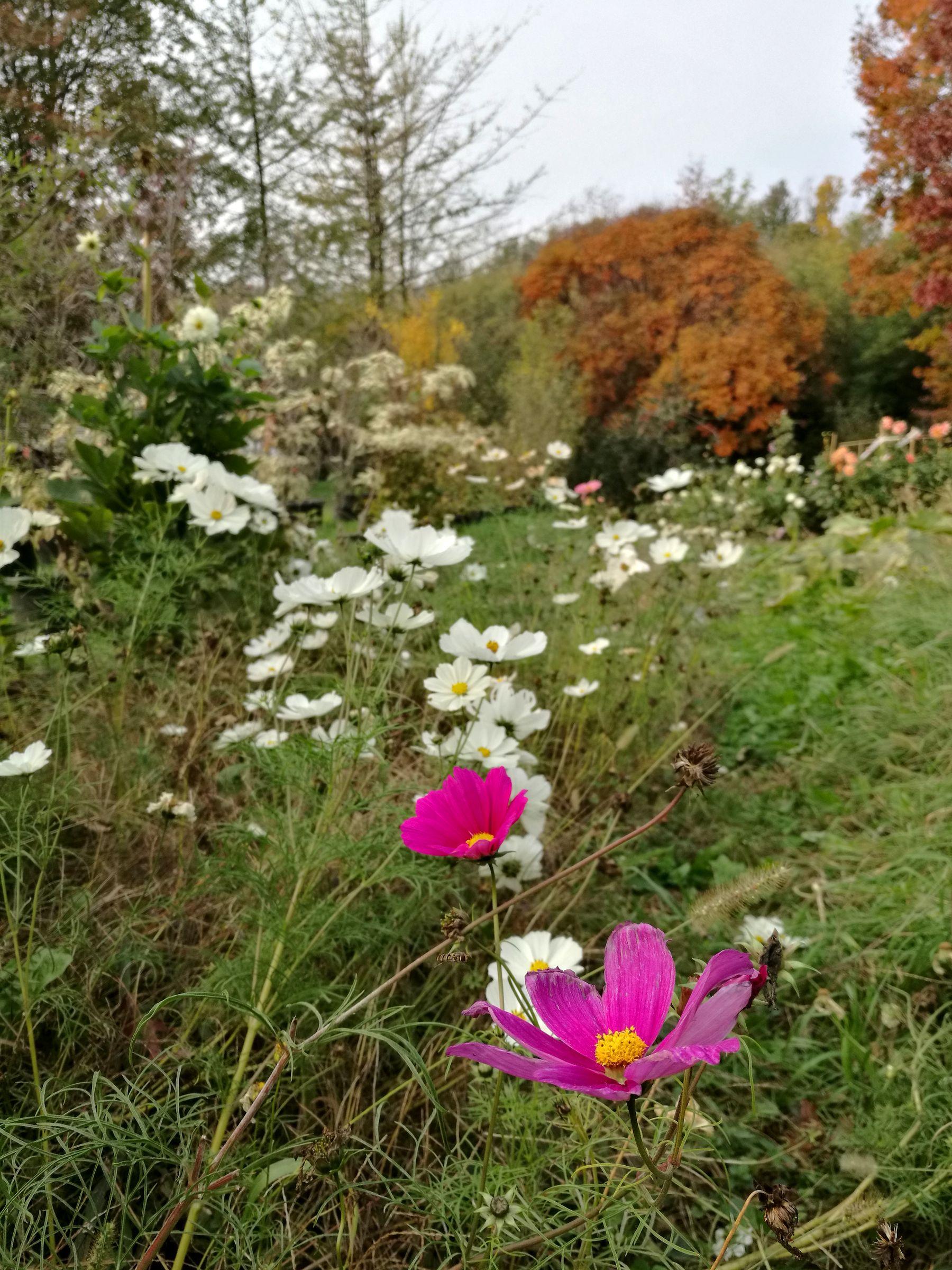 blossom zine OFF olga flower farm cosmee