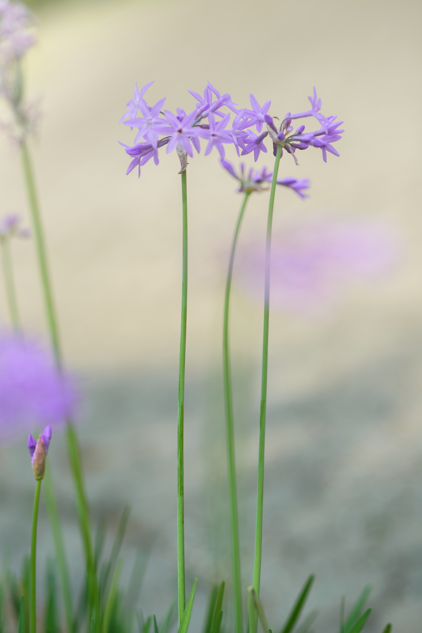 Tulbaghia Violacea_HomeTOGo_IT