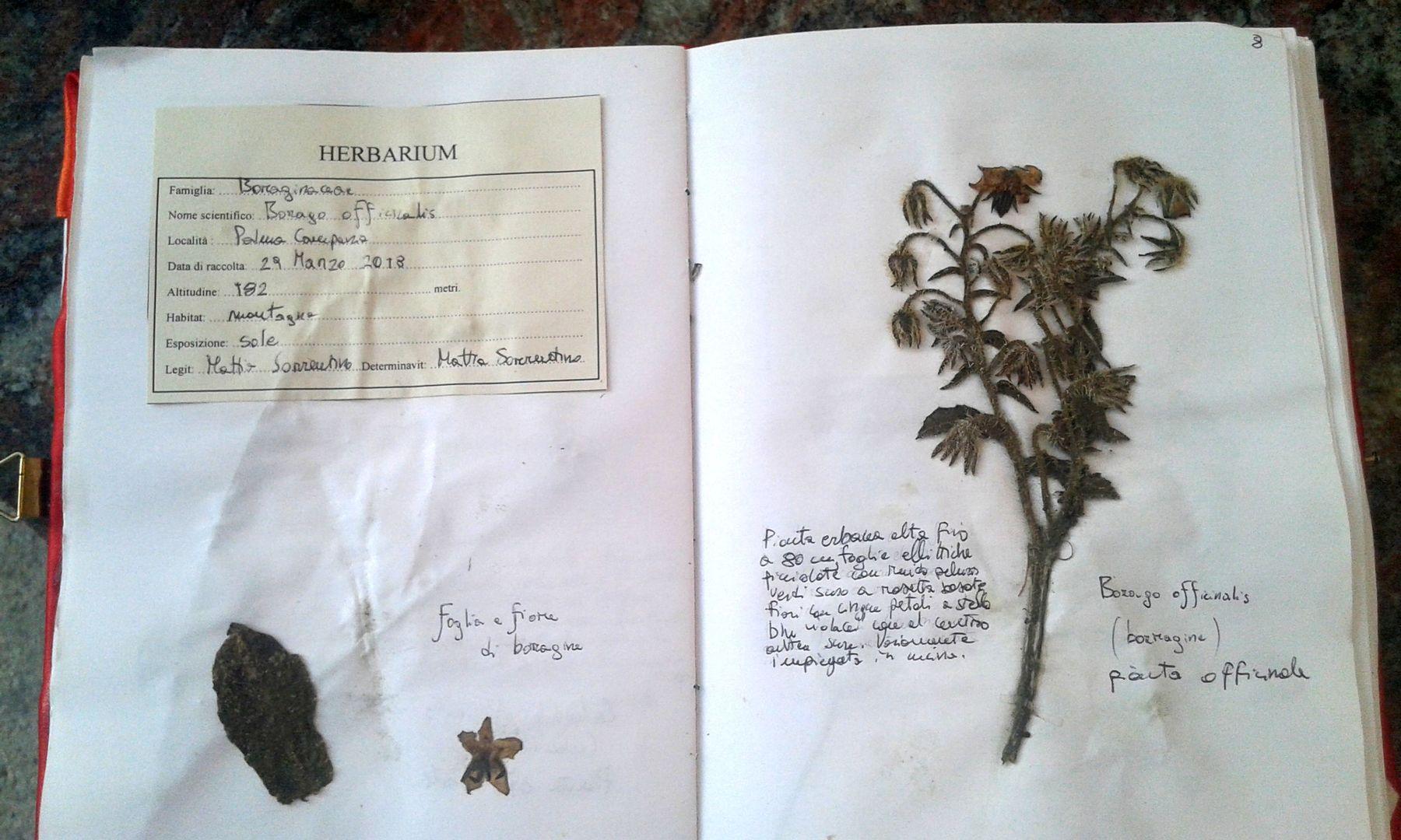l'erbario di Mattia Sorrentino 13 anni