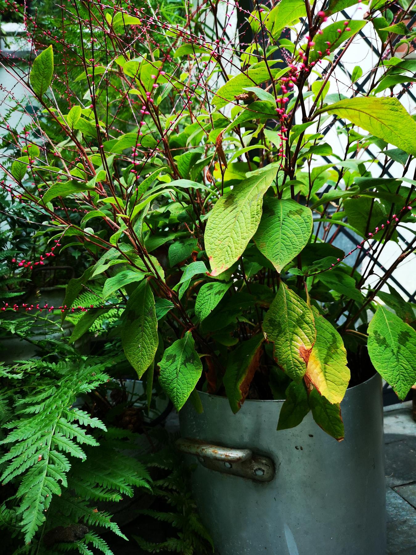Blossomzine per Verdemax treillage Persicaria filiformis