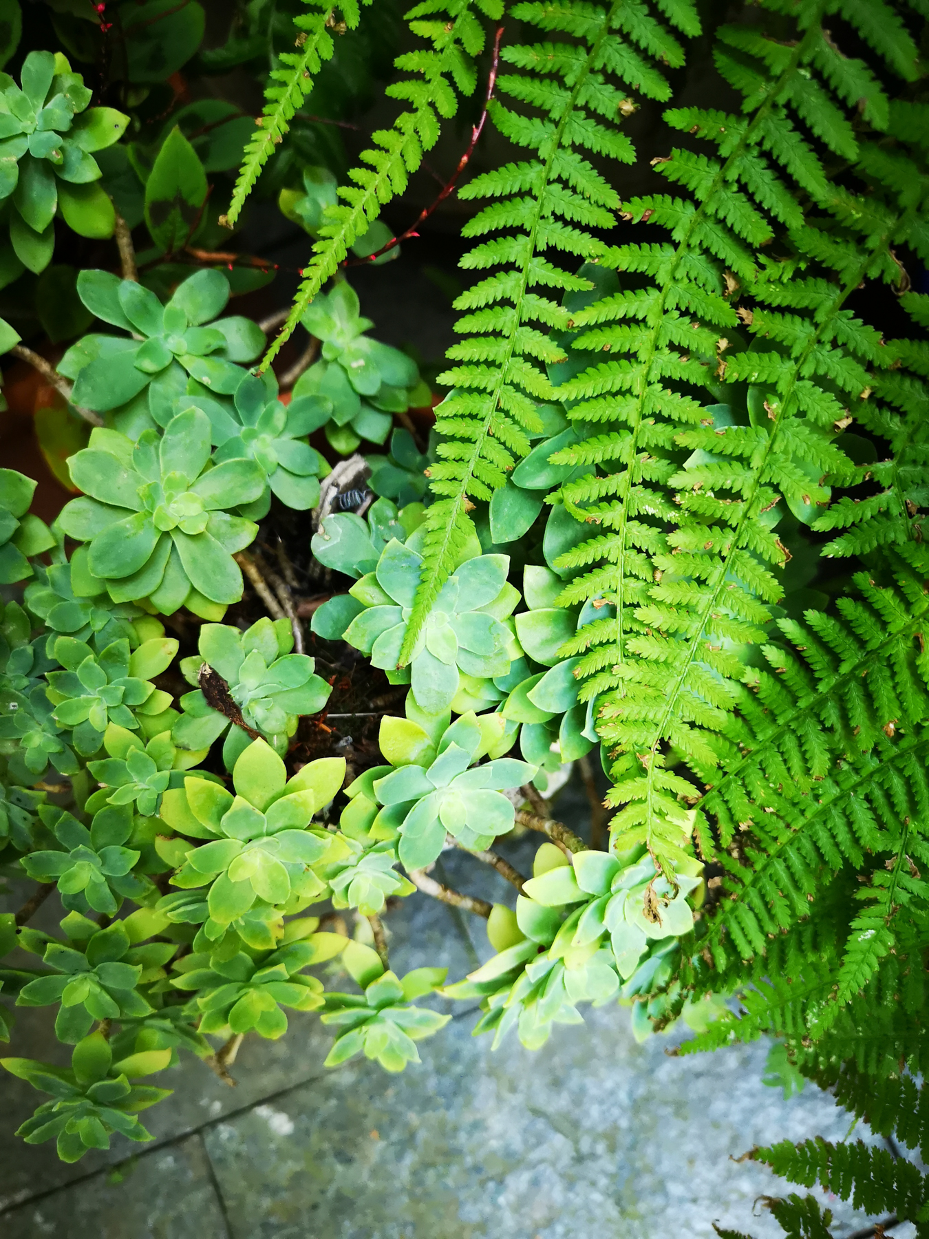 Blossomzine-per-Verdemax-treillage felci e Sedum sempervivum