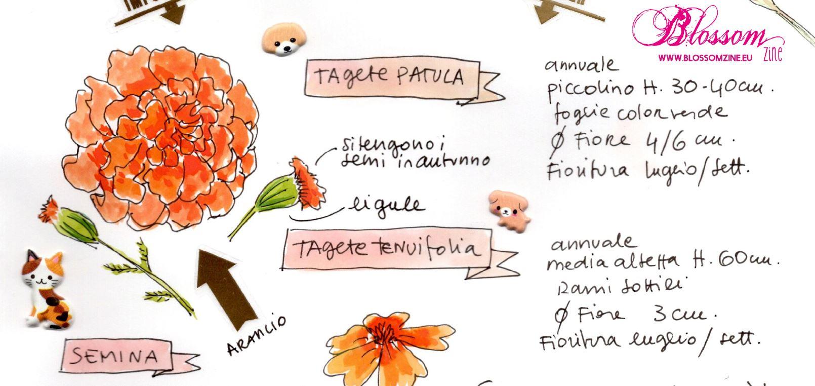 blossomzine-particolare-tagete