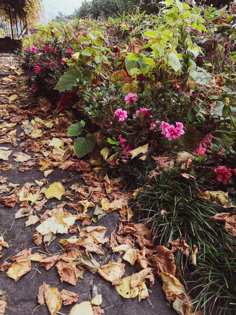 blossomzine Azalea Encore® pronto effetto