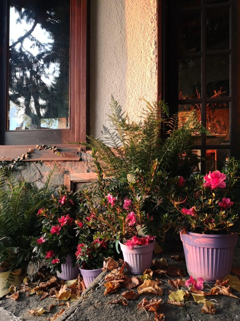 Blossomzine azalea Encore® per abbellire un ingresso