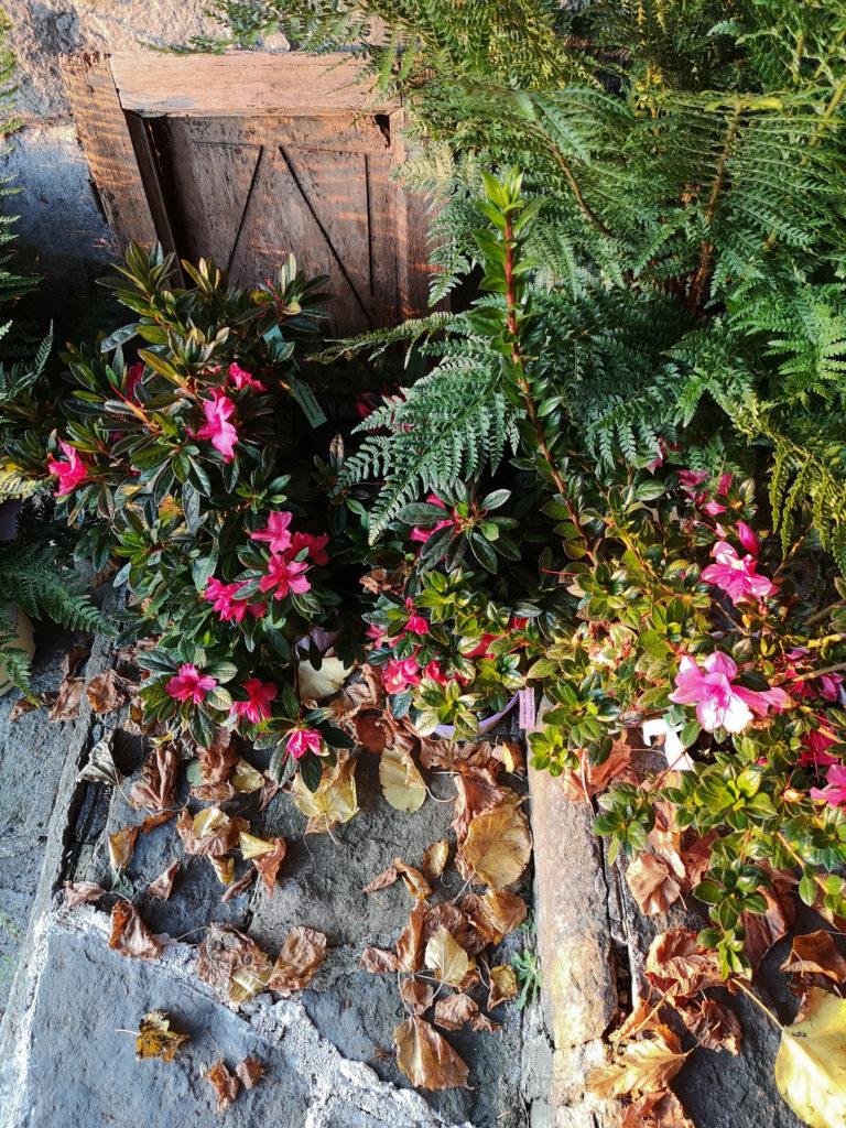 blossomzine azalea Encore®1 ingresso