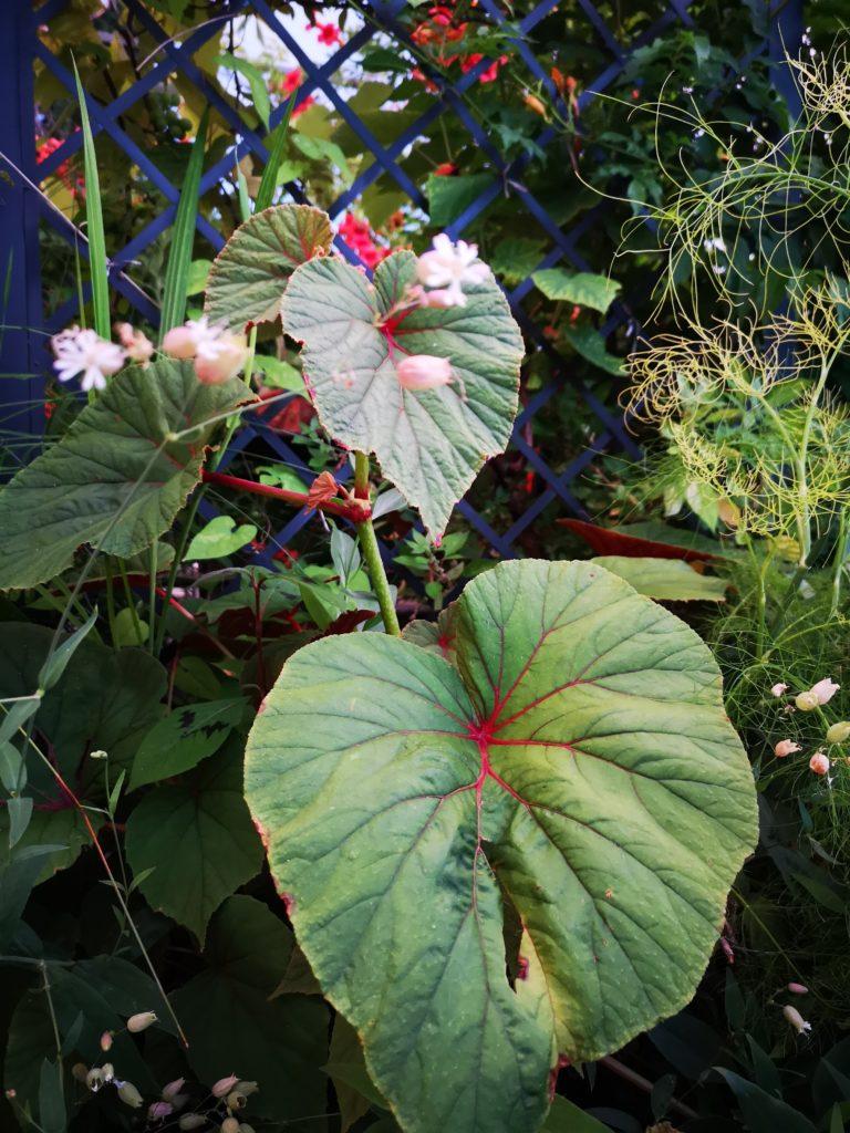 blossomzine fiori da giardino dimenticati Begonia evansiana