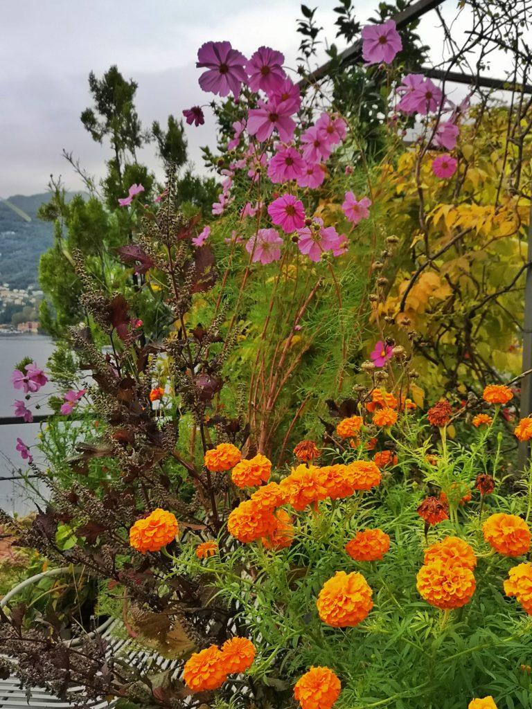 blossomzine fiori da giardino dimenticati tagete e cosmee