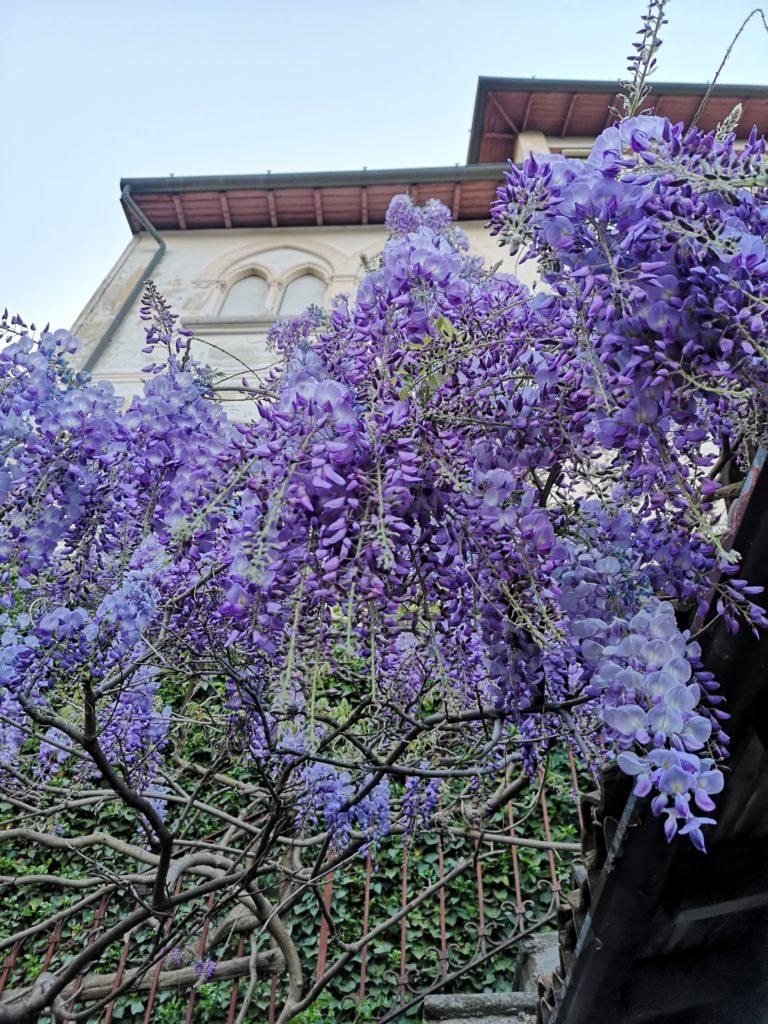 blossomzine fiori da giardino dimenticati Glicine ( Wisteria sinensis )