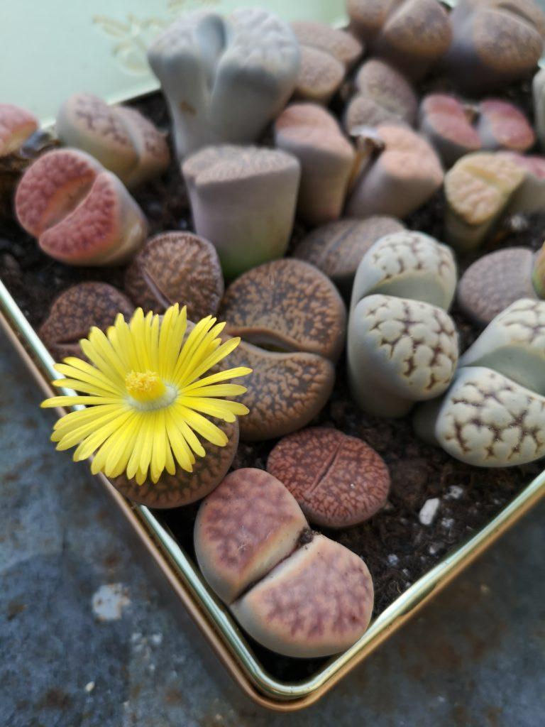 blossomzine lithops cactusmania fioritura